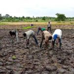 Expérimentation de nouvelles pratiques rizicoles